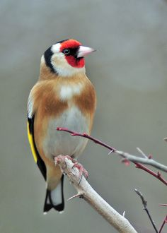 goldfinch by GVG Imaging on Flickr.