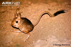 Learn more about the Vinogradov's jerboa - with amazing Vinogradov's jerboa photos and facts on Arkive Extinct And Endangered Animals, Endangered Species, Mammals, Im Falling In Love, Tasmanian Devil, Opossum, Of Mice And Men, New Mexico, Koalas
