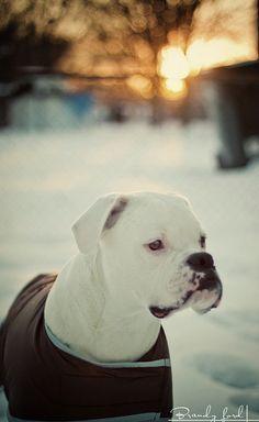 Beautiful white Boxer