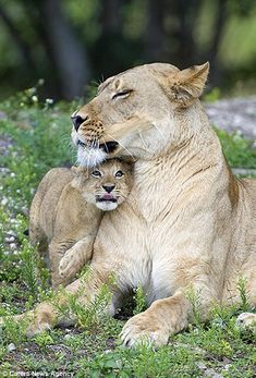 Heartbreaking pictures of Asha the lion with her newborn cub before undergoing operation from which she never woke Animals And Pets, Baby Animals, Cute Animals, Wild Animals, Beautiful Cats, Animals Beautiful, Lion Love, Tier Fotos, Puppies