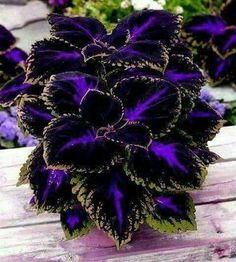 Coleus plant care and propagation is relatively easy compared to other plants. The plant is not only beautiful but also easy to maintain. Coleus has. Container Plants, Container Gardening, Container Flowers, Herb Gardening, Organic Gardening, Gardening Quotes, Gardening Vegetables, Gardening Hacks, Flower Gardening