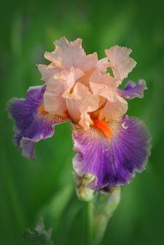 Iris Flower Photograph