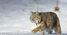 Bing images of snow | Bing Images - Bobcat - Bobcat running through the snow in Montana, USA ...