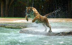 wallpaper desktop tiger, 615 kB - Haywood Brian