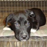 Jackson, Michigan - Labrador Retriever. Meet Jack Frost, a for adoption. https://www.adoptapet.com/pet/20113220-jackson-michigan-labrador-retriever-mix
