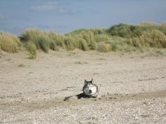 Husky Smokey at the sea - dug in for coolness (July 2015)
