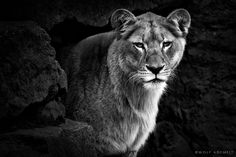 THE LIONESS by Wolf Ademeit, via 500px