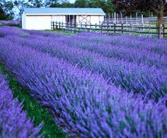 Lavender 'Phenomenal' One of the hardiest lavenders! This hybrid lavender flowers in midsummer, a little later than English types, and has exceptional winter survival. Plants form a mound of silver foliage, above which long spikes of purple-blue flowers wave. Lavenders prefer well-drained soil, so plant in a raised bed if your soil is claylike. 'Phenomenal' is a butterfly-attracting flower that's ideal for nature gardens, herb beds, and cutting gardens. Zones: 5-9