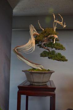 Juniper Bonsai, Driftwood style