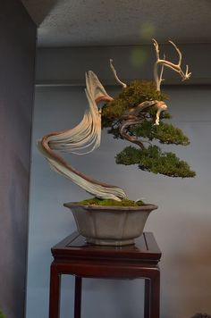 Juniper Bonsai, Driftwood style (Sharimiki).