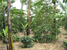 A field with coffee and banana inter-cropped  in Uganda