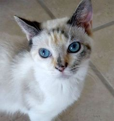<3 GYPSY!! <3 Animal Friends Rescue Project; Pacific Grove, CA. What gorgeous eyes! Sweet, petite 6 mo Tortie-point Siamese w/ a friendly & loving personality! She was rescued as an abandoned kitten at a soccer field in Salinas & raised in foster care. Gypsy gets along nicely w/ Cats, but also very independent & could live happily as a single cat. Currently in foster & avail for meet & greets. Feb 13, 2015. Pet ID: 8217399-C150040