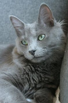 Nebelung. I think that our new kitten Winston, who showed up one night, is this breed.