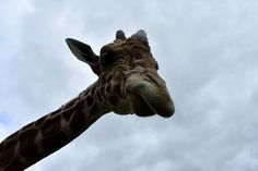 2017-07-02 For my birthday I decided to go to the #NEWZoo in #GreenBay. The main focus of the trip was a wild #zoo encounter to feed the #giraffes. This is Hodari a reticulated #giraffe (Giraffa reticulata). He was very glad to take giraffe chow from me.