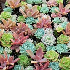 A 2.0in square pot fully planted with 2-4 beautiful Echeveria and Graptoveria (Echeveria hybrid) succulents. Free shipping on orders over $75.