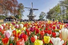 Tulipas são atrações em parque da Holanda