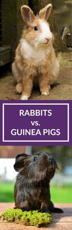 Rabbits vs guinea pigs - but what's the better pet? Read on for a fair comparison between the two.