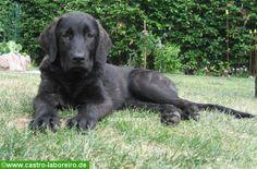 Tierforum - Schöne Hunde Fotos: «Cao de Castro Laboreiro», portugiesischer Hirtenhund