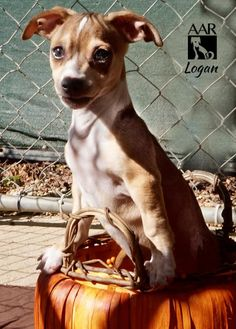 Logan is an adoptable Chihuahua searching for a forever family near Tomball, TX. Use Petfinder to find adoptable pets in your area.