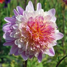 These fun, colorful Dahlias are a longtime favorite of gardeners everywhere - they boast multi-layered petals that are fuschia and gold, making your garden really pop. These Dahlias get to be about 3 feet tall with 6 inch flowers.