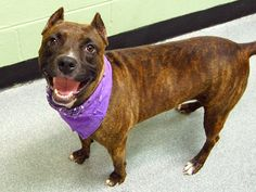 GONE 10/12/14 Manhattan Center   My name is MEGAN. My Animal ID # is A1016767. I am a female br brindle and white pit bull mix. The shelter thinks I am about 1 YEAR   I came in the shelter as a STRAY on 10/08/2014 from NY 11420, owner surrender reason stated was STRAY  https://www.facebook.com/photo.php?fbid=885876208091926  +++++++EXTTREMELY FRIENDLY+++++++