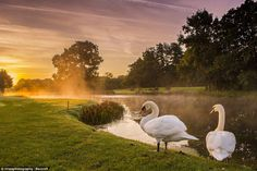 Love birds? These two swans seemed to be enjoying a quiet moment together as the sun rose over Oake Manor Golf Club near Taunton, Somerset