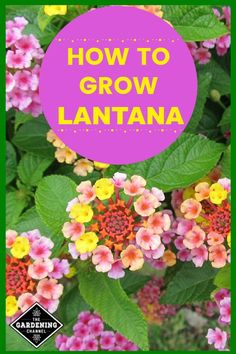 Lantana Grow lantana in your flower beds or planters for a sun-loving annual.Grow lantana in your flower beds or planters for a sun-loving annual. Lantana Flower, Lantana Plant, Cactus Flower, Garden Care, Garden Beds, Landscaping With Rocks, Garden Landscaping, Backyard Plants, Growing Vegetables