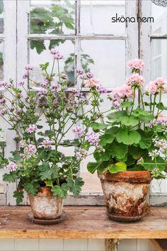 Potted Garden, Garden Pots, Dreams, Flowers, Plants, Garden Planters, Plant, Royal Icing Flowers, Flower