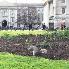 Look who we spotted on the campus!  #trinitycollege #tcddublin #trinitycollegedublin #squirrel #nature #university #campus #dublin #Ireland