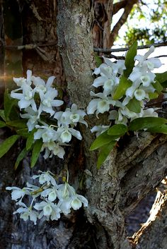 https://flic.kr/p/8Z66aS | Dendrobium nobile (alba) | Reliable little orchid grows in the fork of a paperbark tree and flowers on time (October) each spring in Australia. ALBA white form fairly unusual in these parts.