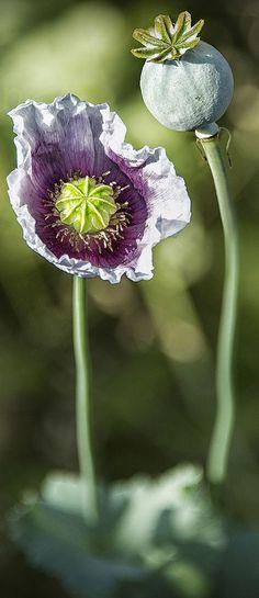 Opium poppy.    Death.  Rebirth.  Afterlife.