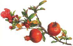Melograno (Punica granatum), disegno di Gabriella Gallerani