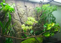 Reasons why real chams need real plants! Chameleon Care, Karma Chameleon, Reptile Cage, Reptile Pets, Chameleons, Lizards, Chameleon Enclosure, Lizard Cage, Tropical Terrariums