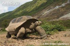 Galapagos giant tortoise (Chelonoidis nigra) - 152 years old was the age of the oldest, impressive