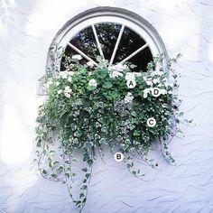 Eine einzige Farbe – hier weiß – mit bunten Blättern akzentuiert ist anmutig und schön in einem einfachen Fenster Blumenkasten. A. Geranium (Pelargonium 'Orbit White') – 1 B. Efeu (Hedera helix 'Glacier') – 4 C. Bacopa (Sutera 'Snowstorm') – 3 D. Impatiens 'Xtreme White' – 2