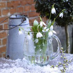 Schneegloeckchen/ snowdrops