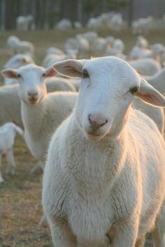 'Listening' Sheep