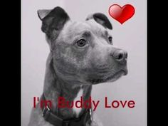 Buddy Love has a new video! He's available at OHS right now, and is one of Bear's Buddies!