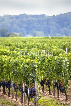 Vin, vignoble, vigne, Bordeaux, Saint-Emilion, raisin, grappe