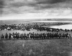 Last Bow River Ranche cattle round-up, near Cochrane, Alberta.    Date: [ca 1905-1906]