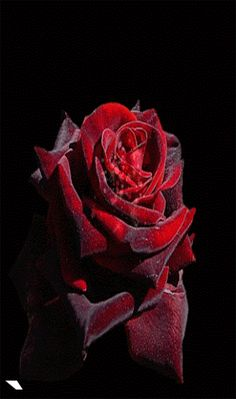 Discover & share this Felicidades GIF with everyone you know. GIPHY is how you search, share, discover, and create GIFs. Good Morning Roses, Good Morning Gif, Morning Images, Flowers Gif, Beautiful Rose Flowers, Love Flowers, Beautiful Gif, Felicidades Gif, Rosas Gif