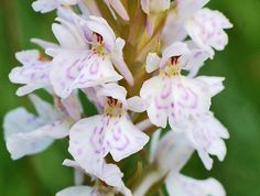 Common Spotted-Orchid: Dactylorhiza fuchsii - Flickr - Photo Sharing!