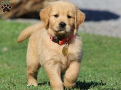 Deusey, Golden Retriever puppy for sale from Honey Brook, PA