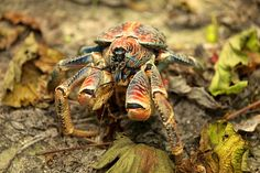 """Fascinating Animals Whose Names Begin with The Letter """"C"""" ~ Coconut Crab"""