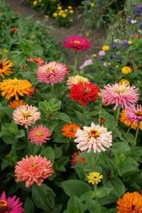 Zinnia elegans, Giant Cactus-Flowered Mixed Seeds £1.95 from Chiltern Seeds - Chiltern Seeds Secure Online Seed Catalogue and Shop