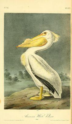 v 7 - The birds of America : John James Audubon, 1844 - American White Pelican