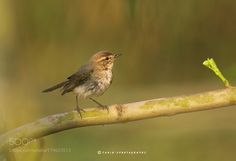 Chiff Chaff by Natureimages via http://ift.tt/2eEUWxK
