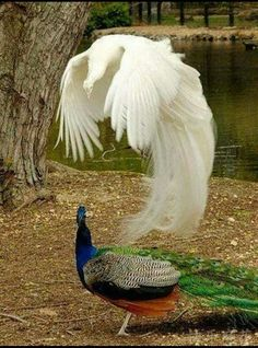Out-of-body experience/ albino peacock Pavo Real Albino, Albino Peacock, Male Peacock, Peacock Bird, Pretty Birds, Beautiful Birds, Animals Beautiful, Beautiful Things, Wild Animals Pictures