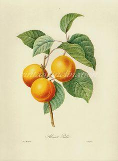 Antique Botanical print Redoute Apricot Peach bookplate, vintage botanical flowers bookplate art print, red fruits wall print wall art via Etsy