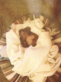 Sleeping beauty Dachshund Shirt, Funny Dachshund, Dachshund Puppies, Chihuahua Mix, Dachshund Love, Cute Puppies, Cute Dogs, I Love Dogs, Puppy Love